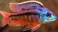 SUPER VENTE DE CICHLIDS EN COULEUR !!