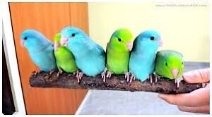 Looking for a female baby Parrotlet
