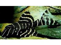 L201 Snowball pleco for sale live tropical fish