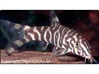 Large Pakistani Loach Tropical Fish