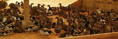 6 Mallard Ducks Hatching Eggs. Npip Cert. Shipping In Foam