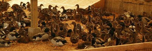 14+ Mallard Ducks Hatching Eggs. NPIP Cert. Shipping In Foam