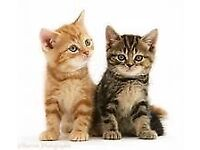 2 kittens for sale near Yate - 1 tabby and 1 ginger £80 each or 2 for £140