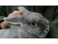 A free female pet rabbit to look after