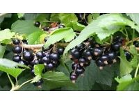 Blackcurrant Bush / Ribes nigrum for organic juicy blackcurrants