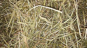 Cow bedding free hay timothy straw