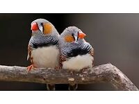 Zebra Finches - Fabulous new young ones