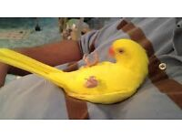baby yellow ringneck parrots 12 weeks old males and females with hatching certificates