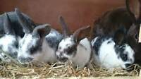 Variety of Rabbits for sale