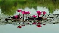 20 Water Lily Nymphea seeds