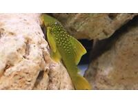 "Emerald Pleco 4.5"" for fish tank aquarium kof"