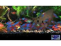 40 BEAUTIFULL NEON TETRA FISH