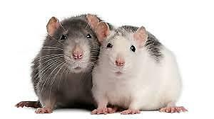 LOOKING FOR 2 FEMALE RATS