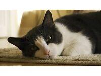 Missing black/white domestic short-haired Cat named Feelemone Macduff.