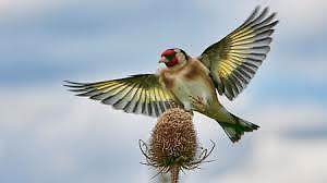 Cardonerret Elegant  Chanteur- European Goldfinch In Song