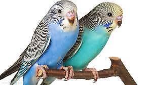 Budgies, budgerigar & canary