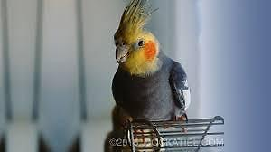 Hoping to find a free cockatiel
