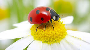 Ladybugs and other beneficial insects