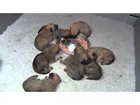 BELGIAN MALINOIS SHEPHERD PUPPYS