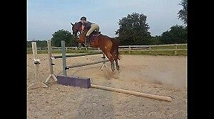 16hh Tb Gelding For Part Board