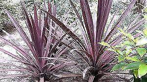 Red cordyline plants
