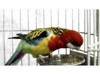 Rosella parrot semi tame