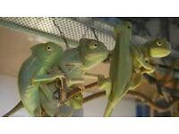 Yemen chameleons £30 or 2 £55 CAN DELIVER