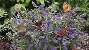 Dwarf Butterfly Bush