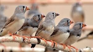 ZEBRA FINCH, male and female, accessories as needed available!