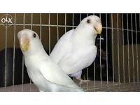 Pairs of White Lovebirds for sale