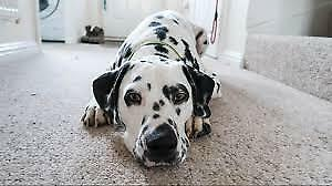 Looking for a Dalmatian