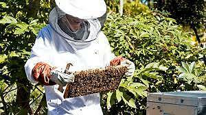 BEE HIVE MAINTENANCE & SWARM PREVENTION Ferntree Gully Knox Area Preview