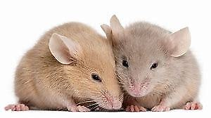 *****LIVE FEEDER MICE ALL AGES*******