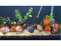 discus tropical aquarium fish tank fish for sale