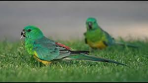 Green grass parakeet
