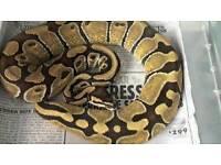 Female Enchi royal python