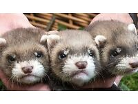 BEAUTIFUL BABY FERRETS FOR SALE