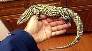 Yellow Ackie monitor