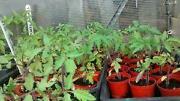 Moneymaker Tomato Plants