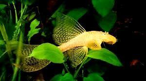 Albino long fin bristlenose cat fish 6-8cm Beenleigh Logan Area Preview