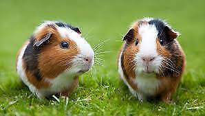 GUINEA PIGS - SHORT AND LONG HAIRED