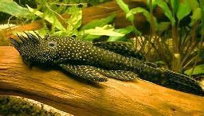bristlenose n guppy fish Southern River Gosnells Area Preview