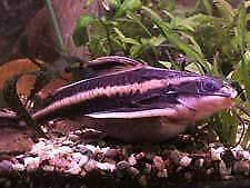 Malawi an catfish