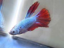 Female Halfmoon Betta: Live Fish | eBay - photo#49