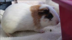 "Baby Female Small & Furry - Guinea Pig: ""Laney"""