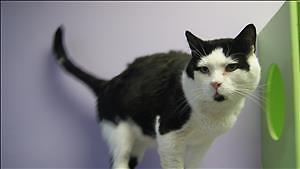 """Adult Male Cat - Domestic Medium Hair: """"Two By Four"""""""