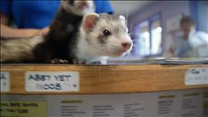 """Young Female Small & Furry - Ferret: """"Finlay"""""""