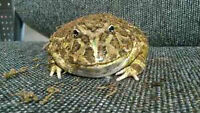 Female Pacman Frog For Sale