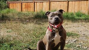 """Adult Female Dog - American Staffordshire Terrier: """"Nanners"""""""