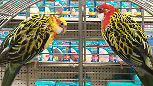 Eastern Rosella Pair with cage!